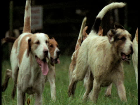 Hunt hounds run in pack towards camera, England