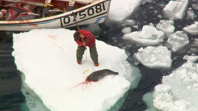A hunter bludgeons and kills a struggling seal on an ice floe in Nova Scotia, Canada.