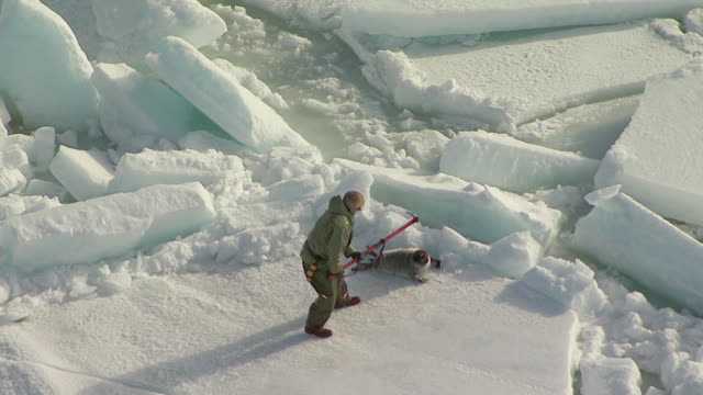 A hunter clubs a seal to death and drags its carcass across the ice.