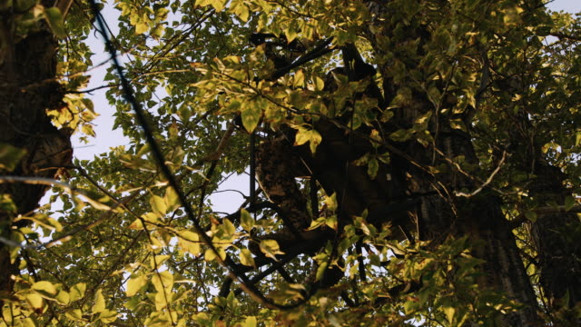 a hunter is hardly visible as he sits in his tree stand waiting for the animals he is hunting to walk by as the golden light of sunset hits the trees leaves giving off a beautiful hue. - bow and arrow stock videos and b-roll footage