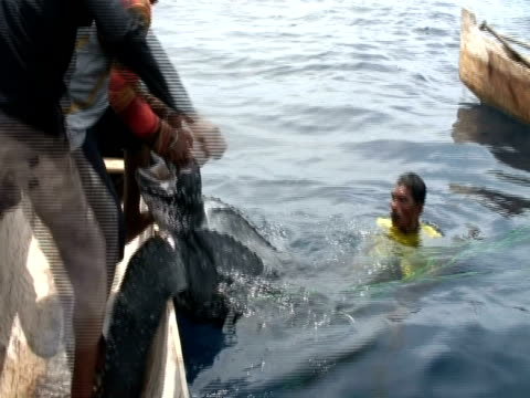Hunters listing harpooned Leatherback turtle (Dermochelys coriacea) onto boat, Kei Islands, Indonesia