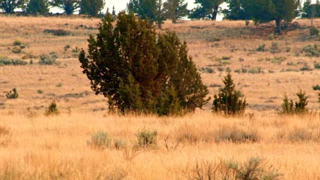hunting and stalking in desert 3 coyote steens mountain near malhuer wildlife refuge 4 - 荒野点の映像素材/bロール