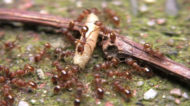 Hunting Ants