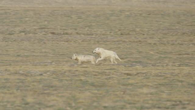 slomo pan 2 hunting arctic wolves running across tundra - three animals stock videos & royalty-free footage