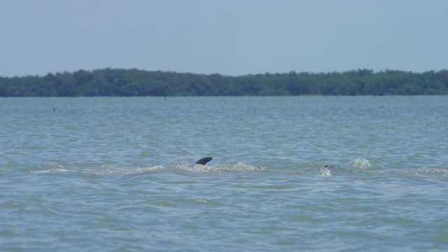Hunting Bottlenosed Dolphin jumps clear of water and catches jumping Mullet