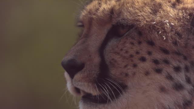 vídeos y material grabado en eventos de stock de slomo hunting cheetah blinks - vibrisas