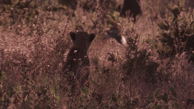 hunting cheetah scares bird away on savannah, zimbabwe - bird hunting stock videos & royalty-free footage
