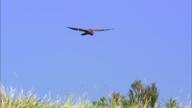 Hunting common kestrel (Falco tinnunculus) hovers over bank, Norfolk, UK