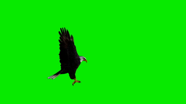 hunting eagle green screen (loopable) - claw stock videos & royalty-free footage