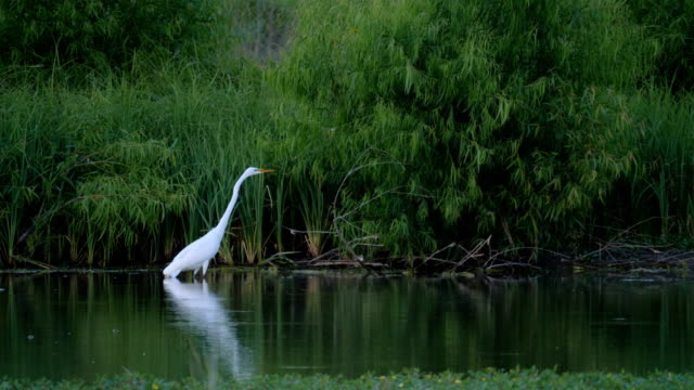 hunting egret - wildlife stock videos & royalty-free footage