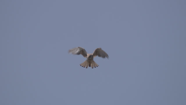 hunting kestrel (falco tinnunculus) hovers against blue sky, essex, england - bbc stock videos and b-roll footage