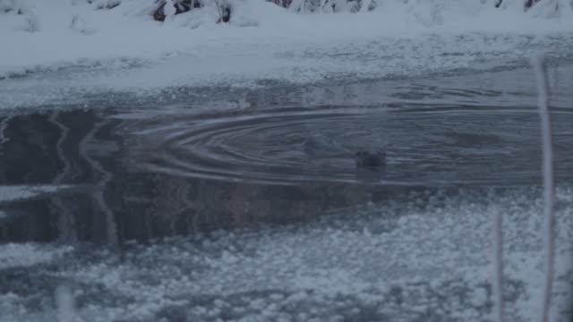 jagd-otter - europäischer fischotter stock-videos und b-roll-filmmaterial