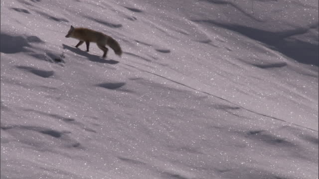 hunting red fox (vulpes vulpes) climbs snowy slope, yellowstone, usa - yellowstone national park stock videos & royalty-free footage