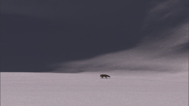 hunting red fox (vulpes vulpes) crosses snow, yellowstone, usa - survival stock videos & royalty-free footage