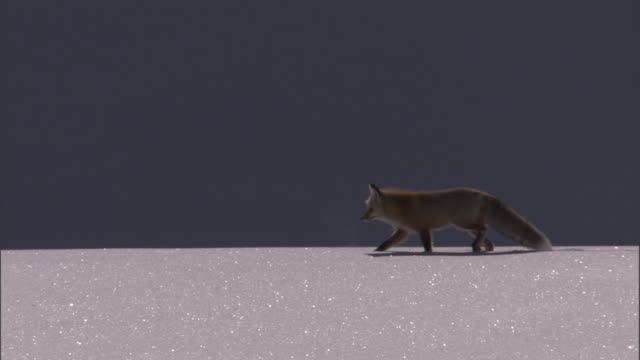 hunting red fox (vulpes vulpes) crosses snow, yellowstone, usa - yellowstone national park stock videos & royalty-free footage