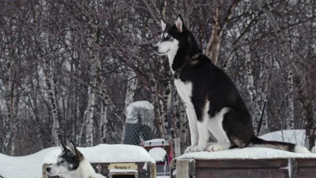 LS Huskies at dog sled lodges