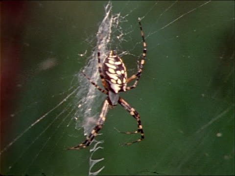 husks of former victims hang in a nephila spider's web. - invertebrate stock videos & royalty-free footage
