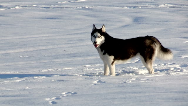 Husky Hund winter