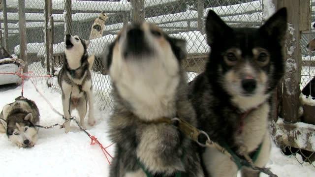 husky dogs barking