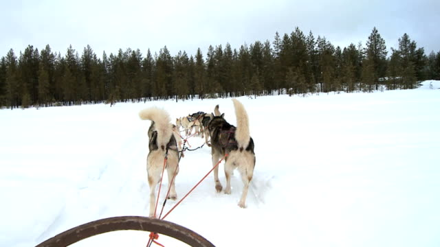 Husky dogs pulling a sleigh into forest