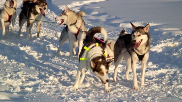 ms husky dogs rolling in snow while tied to sled reins / jokkmokk, norrbotten province, sweden - peter snow stock videos & royalty-free footage