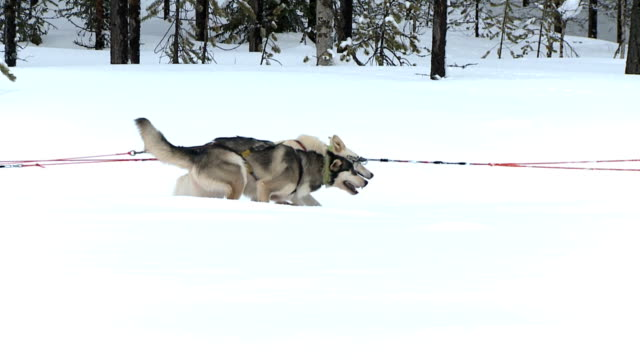 husky dogs - pulling stock videos & royalty-free footage