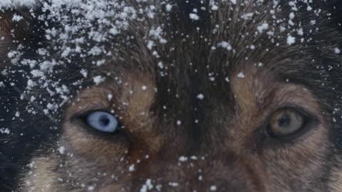 vidéos et rushes de ecu husky en regardant la caméra. - chien de traîneau