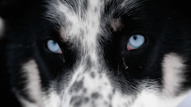 slo mo husky looking at the camera - super slow motion stock videos & royalty-free footage