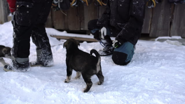 WS-Husky Welpen in der Lodge in Norwegen