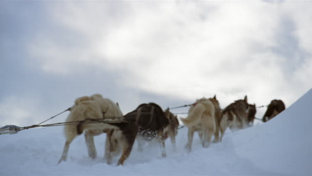 MS, Husky sleigh dogs running through snow with sleigh, rear view, Blackstone Bay, Alaska, USA