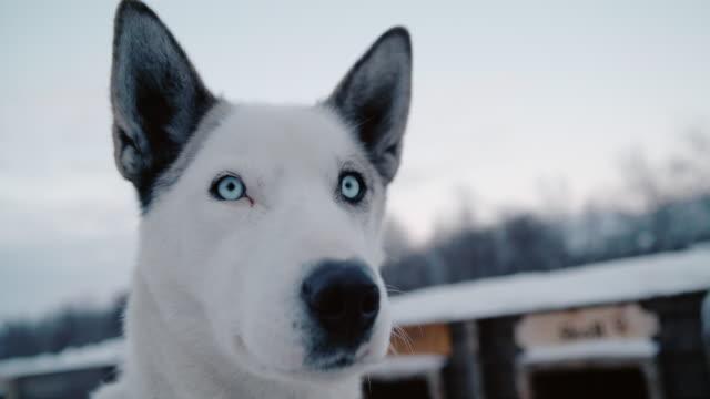 vidéos et rushes de slo mo husky - chien de traîneau