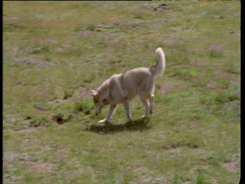 husky walks across grass pausing to sniff at the ground whilst wagging its tail, montana - bbc stock videos and b-roll footage