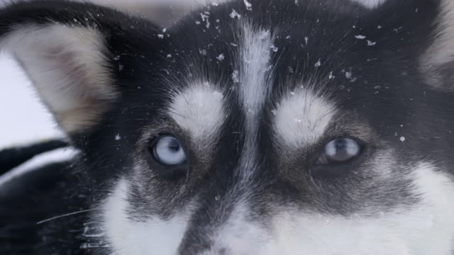 vídeos de stock e filmes b-roll de slo mo cu husky with beautiful blue eyes - olho de animal