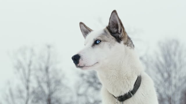 LS Husky with blue eyes looking around