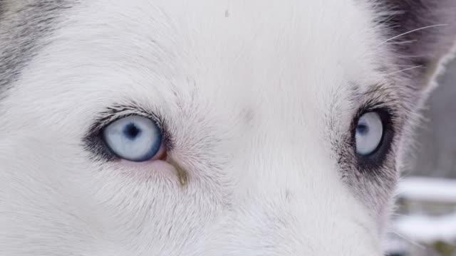 slo mo cu husky with blue eyes - siberian husky stock videos & royalty-free footage