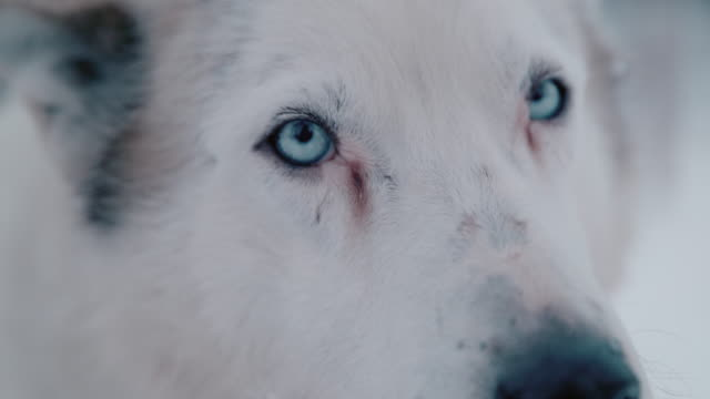 vídeos de stock e filmes b-roll de slo mo cu husky with blue eyes - olho de animal