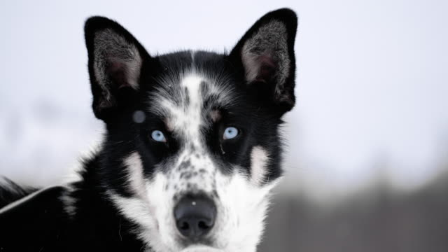 slo mo husky with blue eyes - animal head stock videos & royalty-free footage