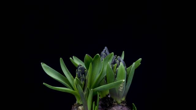 hyacinth blooming time lapse - hyacinth stock videos & royalty-free footage