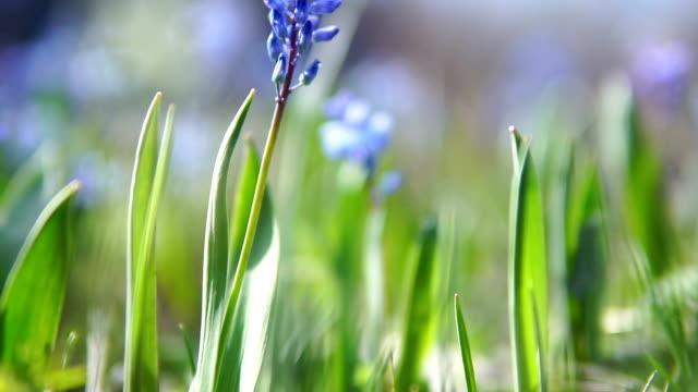 hyacinth flower - hyacinth stock videos & royalty-free footage
