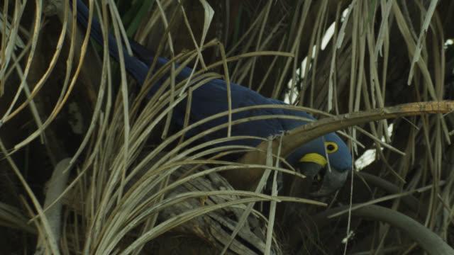 Hyacinth macaw (Anodorhynchus hyacinthus) clambers in acuri palm (Attalea phalerata).