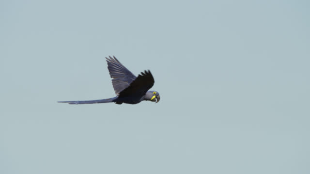 hyacinth macaw (anodorhynchus hyacinthinus) flies through shot. - parrot stock videos & royalty-free footage