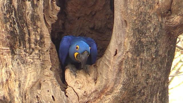 Hyacinth Macaw in nest hole, Pantanal, Brazil