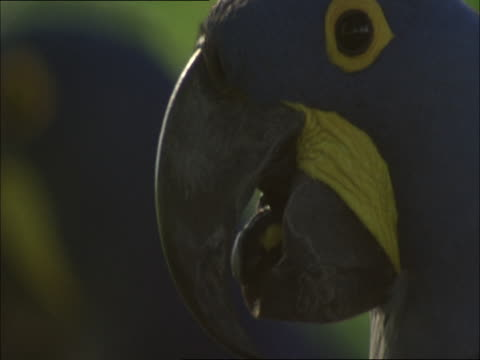 A hyacinth macaw moves its tongue up and down.