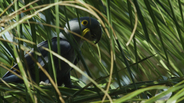 Hyacinth macaw (Anodorhynchus hyacinthus) perched in acuri palm tree.