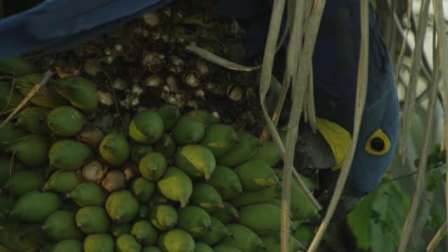 Hyacinth macaw (Anodorhynchus hyacinthus) picks palm nut from acuri palm (Attalea phalerata).