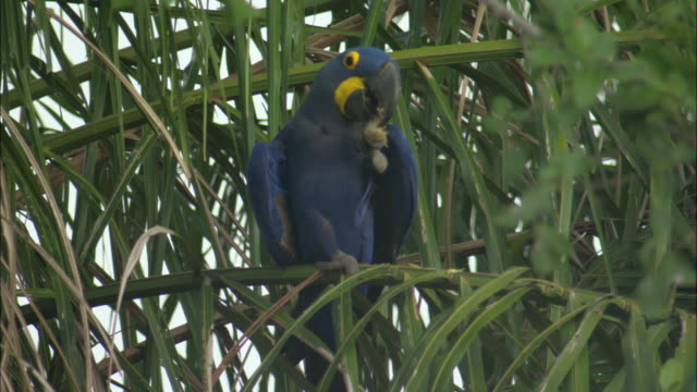 ms hyacinth macaw (anodorhynchus hyacinthinus) sitting on tree and eating / pantanal, mato grosso do sul, brazil - macaw stock videos & royalty-free footage