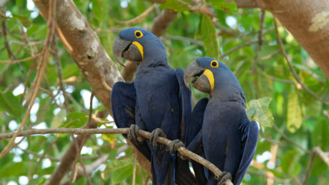 hyacinth macaw - two animals stock videos and b-roll footage