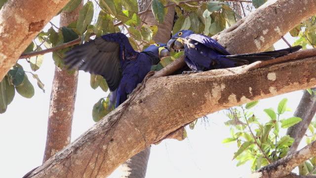 hyacinth macaws interacting, pantanal, brazil - parrot stock videos & royalty-free footage
