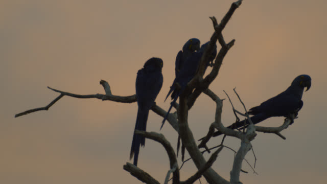 Hyacinth macaws (Anodorhynchus hyacinthus) perch in dead tree at sunset.