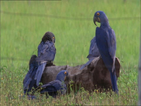 stockvideo's en b-roll-footage met hyacinth macaws perch on a log in a grassy field. - plant attribute